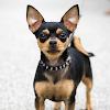 Chihuahua (3)